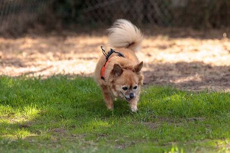 Small blond Chihuahua mixed breed dog in a harness at the dog park