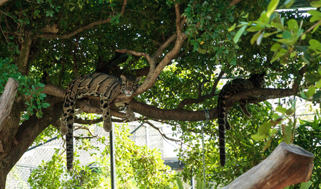 Clouded Leopard Neofelis nebulosa hangs out in a tree to stay out of the heat Stock Photo