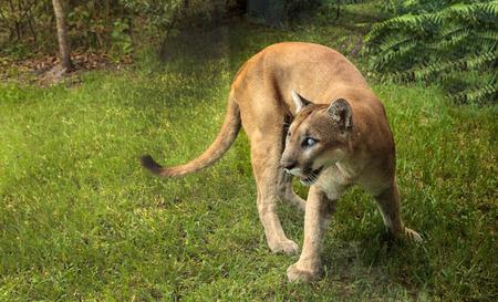 나폴리, 플로리다, 미국 - 2017 년 10 월 20 일 : 플로리다 팬더 인 Puma concolor coryi는 2014 년에 엽총으로 눈을 가리고 현재 나폴리 동물원에 있습니다. 스톡 콘텐츠