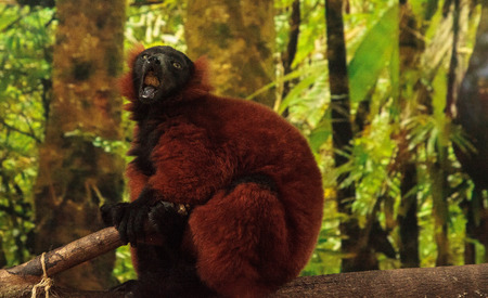 Red Ruffed lemur Varecia rubra perches on a tree limb and snacks on fruit. This primate is native to Madagascar. Reklamní fotografie