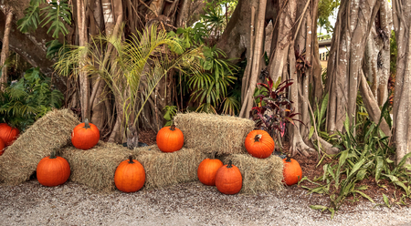 Banyan trees Ficus carica with their thick roots around a tropical path lined with pumpkins around Halloween in Southern Florida Stock Photo