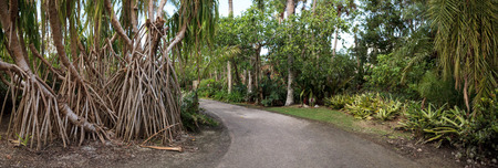 Banyan trees Ficus carica with their thick roots line a tropical path in Southern Florida Stock Photo