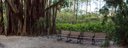 Benches under Banyan trees Ficus carica with their thick roots lining a tropical path in Southern Florida Stock Photo