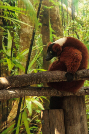 Red Ruffed lemur Varecia rubra perches on a tree limb and snacks on fruit. This primate is native to Madagascar. Stock Photo