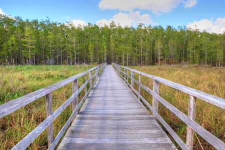 Boardwalk path  in Naples, Florida leads to a Thick wall of pond cypress trees Taxodium distichum var nutans. Stock Photo
