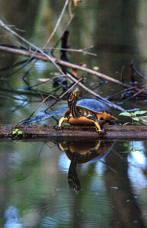 Florida redbelly turtle Pseudemys nelson perches on a cypress log