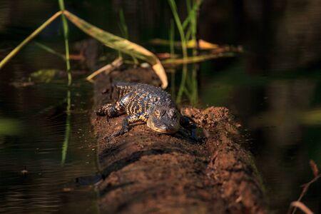 American alligator Alligator mississippiensis suns itself on a fallen pond cypress tree
