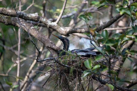 Female Anhinga bird called Anhinga anhinga and snakebird makes a nest as she prepares to lay eggs Stock Photo