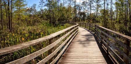 Boardwalk path at Corkscrew Swamp Sanctuary in Naples, Florida through pond cypress trees Taxodium distichum var nutans.