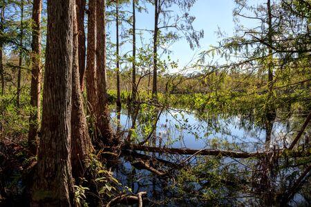 Zones humides dans le sanctuaire du Corkscrew Swamp à Naples, en Floride. Banque d'images - 92419229