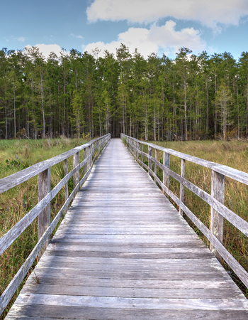 Boardwalk path at Corkscrew Swamp Sanctuary in Naples, Florida leads to a Thick wall of pond cypress trees Taxodium distichum var nutans.