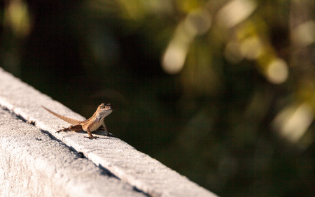 Brown Cuban anole Anolis sagrei perches on a fence in the Ding Darling National Refuge on Sanibel Island, Florida