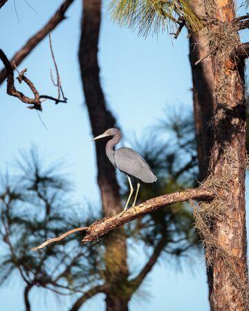 Little blue heron bird Egretta caerulea at the Fred C. Babcock and Cecil M. Webb Wildlife Management Area in Punta Gorda, Florida