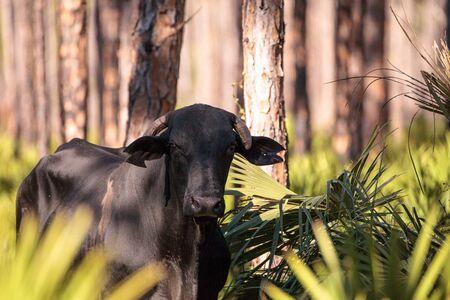 牛の群れはルイジアナ州の湿地を通り抜け、彼らが行くように放牧します。