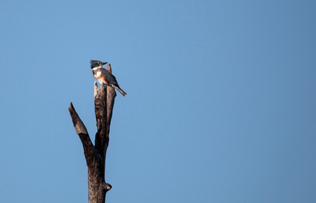 Belted Kingfisher Megaceryle alcyon perches high up in a tree in the Fred C. Babcock and Cecil M. Webb Wildlife Management Area in Punta Gorda, Florida