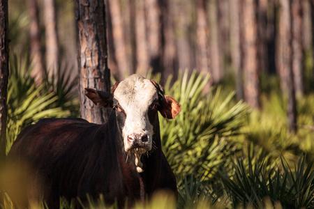 牛の群れは、ルイジアナ州の沼地を通過し、放牧に出る。 写真素材