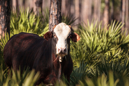 Herd of cattle travel through a marsh in Louisiana and graze as they go.