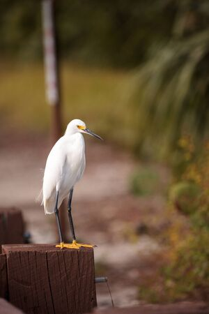 Snowy egret Egretta thula perches on a post in the Ding Darling National Refuge on Sanibel Island, Florida