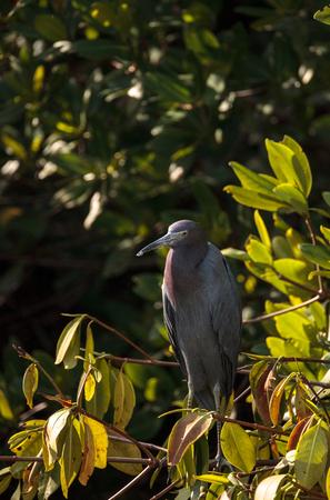 Little blue heron Egretta caerulea hides in a bush in the Ding Darling National Refuge on Sanibel Island, Florida