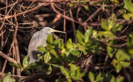 Tricolored heron bird Egretta tricolor hides in a bush in the Ding Darling National Refuge on Sanibel Island, Florida