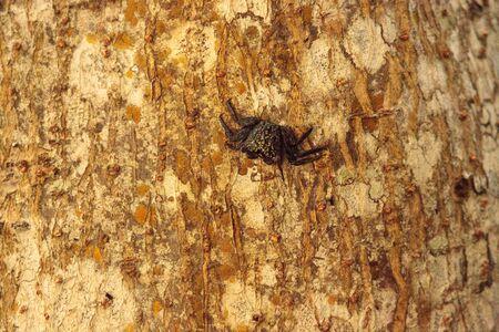 Mangrove Tree Crab Aratus pisonii line the trees in a marsh on Sanibel Island, Florida