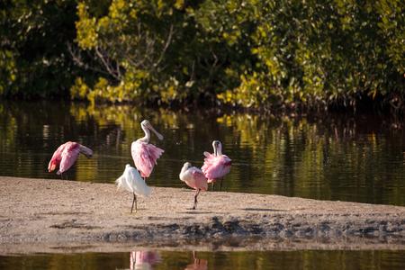 Roseate spoonbill shorebird Platalea ajaja in a marsh on Sanibel Island, Florida
