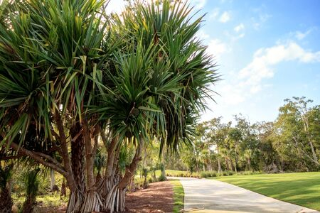 Fruit grows on a screwpine tree Pandanus utilis in Southern Florida but it is native to Madagascar