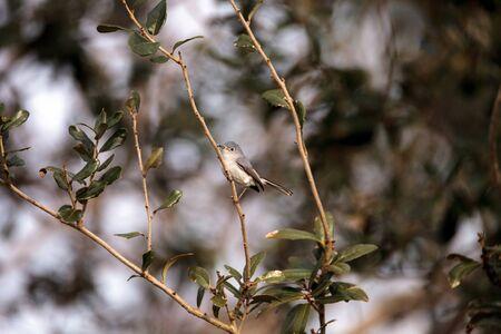Grey catbird Dumetella carolinensis perches on a tree in Naples, Florida in winter.