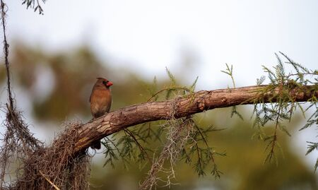 Female brown and red Northern cardinal bird Cardinalis cardinalis perches on a tree in Naples, Florida