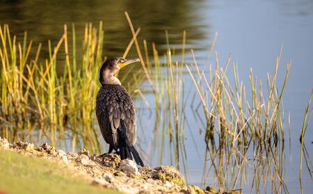 Double-crested Cormorant, Phalacrocorax auritus, is a black fishing bird found in lakes and rivers in North America.