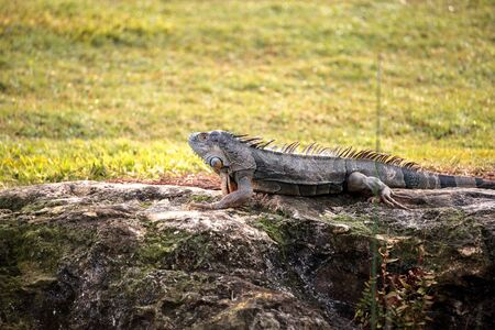 Green iguana, scientifically called Iguana iguana, suns itself beside a pond on a golf course in Florida Stock Photo