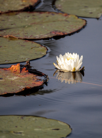 Water lily flower on top of a marsh in Naples, Florida Stock Photo