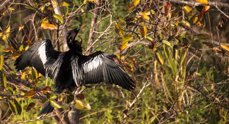 Male Anhinga bird called Anhinga anhinga and snakebird in the Corkscrew Swamp Sanctuary in Naples, Florida
