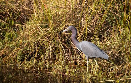 Little blue heron bird Egretta caerulea hunts for frogs amid water fern Salvinia minima in the Corkscrew Swamp Sanctuary in Naples, Florida