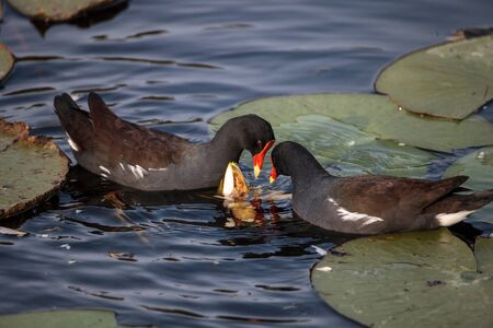 Common moorhen bird Gallinula chloropus forages for food in a marsh in Naples, Florida Stock Photo