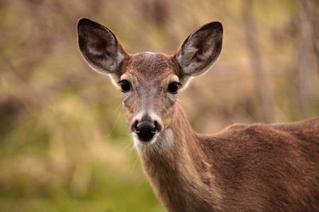 White-tailed deer Odocoileus virginianus forages for food in the wetland and marsh at the Myakka River State Park in Sarasota, Florida, USA Stock Photo