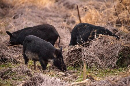 Wild pigs Sus scrofa forage for food in the wetland and marsh at the Myakka River State Park in Sarasota, Florida, USA