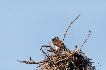 Osprey bird Pandion haliaetus perches in its nest high above a marsh in the Ding Darling National Refuge on Sanibel Island, Florida