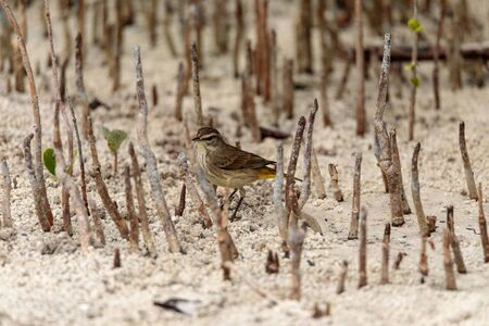 Pine warbler bird Setophaga pinus forages for food in the beach sand on Marco Island, Florida