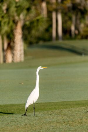 White great egret Ardea alba on a golf course in Florida