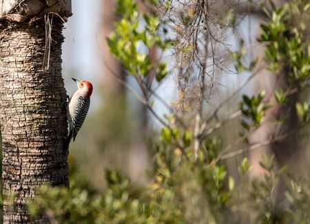 Red-bellied woodpecker Melanerpes carolinus pecks at a palm tree in Naples, Florida