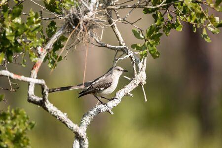 Common mockingbird Mimus polyglottos perches in a bush in Marco Island, Florida