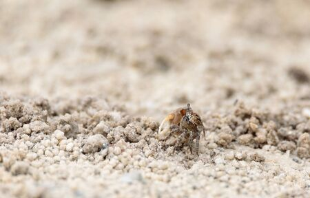 Fiddler crab Uca panacea comes out of its burrow in the marsh area before Tigertail Beach on Marco Island, Florida 写真素材