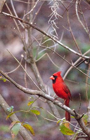Male red Northern cardinal bird Cardinalis cardinalis perches on a tree in Naples, Florida 스톡 콘텐츠