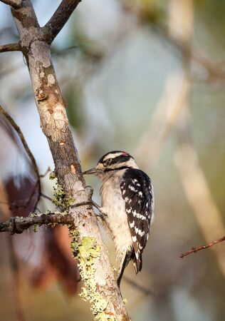 Downy woodpecker Picoides pubescens perches on a tree at the Corkscrew Swamp Sanctuary of Naples, Florida Stock Photo