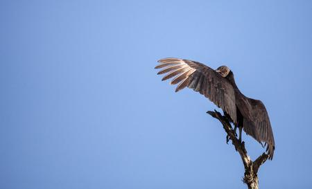 American Black vulture Coragyps atratus at the Myakka River State Park in Sarasota, Florida