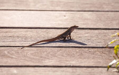 Brown Cuban anole Anolis sagrei perches on a boardwalk in the Ding Darling National Refuge on Sanibel Island.