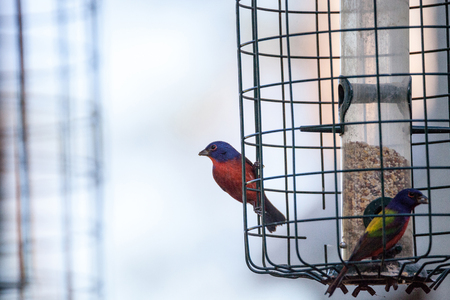 Bright Male Painted bunting bird Passerina ciris forages for food in the bushes and from a bird feeder in Naples, Florida