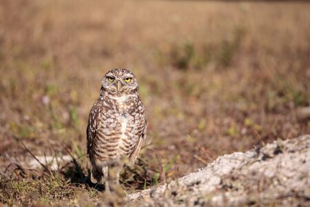 Burrowing owl Athene cunicularia perched outside its burrow on Marco Island, Florida Foto de archivo