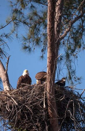 Family of two bald eagle Haliaeetus leucocephalus parents with their nest of chicks on Marco Island
